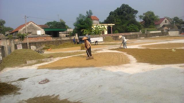 Lúa đã về đến nhà, không còn lo những ngày mưa lũ tới